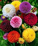 30 Seeds, Fragrant, Dahlia Mix, Pompon Dahlia