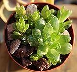 "4"" Haworthia Cymbiformis Obtusa Cactus Succulent Plants Rare Live variegated"
