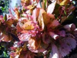 Copper Leaf Acalypha wilkensiana 'Mardis Gras' Live Plant Very Colorful Leaves