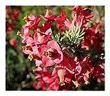 Erica glauca - heath - 15 seeds