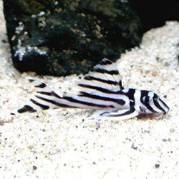 熱帯魚 インペリアルゼブラプレコ ワイルド (約4cm前後)