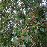 100 Seeds of Morus Alba - Dark Fruited Mulberry. Delicious Fruit Tree!
