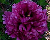 Purple Peony Flower Seeds 30 Seed Pack Easy Grow