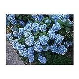 10 Nikko Blue Hydrangea Plants(macrophylla 'Nikko Blue') Bareroot!