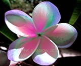 """""""PINK RAINBOW """" FRAGRANT PLUMERIA'S CUTTING WITH ROOTED 7-12 INCHES REGISTERED TRACK ONLINE 100%GUARANTEE SATISFICATION AND ..."""