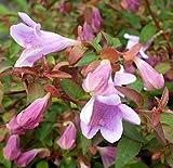 "Pinky Bells TM Abelia grandifolia- Lavender/Pink Blooms- Proven Winners - 4"" Pot"