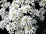 Iberis sempervirens White Flower seeds from Ukraine