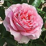 Jackson & Perkins Dr. Jane Goodall Hybrid Tea Rose - Bareroot