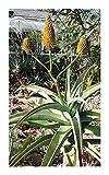 Aloe arborescens - krantz aloe - candelabra aloe - 10 seeds