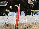 Flaming Sword Bromeliad plant.: Vriesea splendens