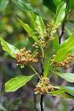10 Seeds Dodonaea viscosa subsp. angustifolia Hop Bush, Sand Olive Tree