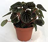 "Burgundy Ripple Peperomia 4"" Pot - Easy to Grow Houseplant"