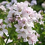 4 Bare Root of Campanula Lactiflora 'Loddon Anna'