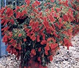 Dwarf Weeping BottleBrush-Captain Cook 50+ Seeds