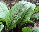 Sorrel Seeds- Blood-Veined- Heirloom Greens- 200+ 2019 Seeds