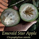 ~EMERALD STAR APPLE~ Chrysophyllum Cainito CAIMITO FRUIT TREE Small Potted PLAN