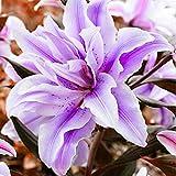 1 Bulb Amaryllis Off Set from Stargazer Hippeastrum Lily Flower