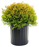 Thuja occidentalis 'Fire Chief' (Globe Arborvitae) Evergreen, #2 - Size Container