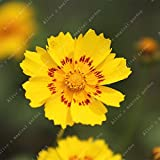 100 Pcs Blue Evening Primrose Flowers Colorful Mixed Seeds Bonsai Plant Garden Balcony Ornamental Home Primula Malacoides Flower Yellow Red