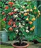 Chinese Lantern - 75 Seeds - Organically Grown - NON-GMO