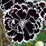 Outsidepride Dianthus Heddewigii Flower Plant Seeds - 500 Seeds