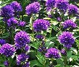 BELLFLOWER SUPERBA Campanula Glomerata - 20 Seeds