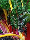 Swiss Chard Seeds- Heirloom Rainbow Mix- 100+ Seeds by Ohio Heirloom Seeds