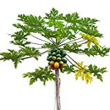 PAPAYA LIVE FRUIT TREE - 'Tainung' Live Plant Carica papaya Mamão, Melon Tree