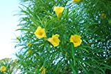5 Seeds Thevetia Nerifolia , Lucky Nut, Yellow Oleander, Mexican Oleander