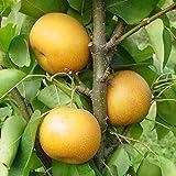 1 Starter Plant of Chojuro Asian Pear Tree