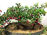 Chinese hawthorn Crataegus pinnatifida tree Edible Hardy - Tree Fruit Seeds (10)