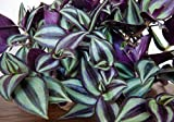 """Purple Wandering Jew - Easy to Grow House Plant - Inch Plant - 4"""" Pot"""