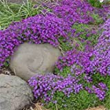 Outsidepride Aubrieta Rock Cress Whitewell Gem Ground Cover Plant Seed - 5000 Seeds