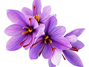 Amazon.com : 20 Jumbo Saffron Crocus - Crocus Sativus ...