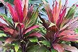 Cordyline fruticosa seed beautifu plant leaf 10 seeds