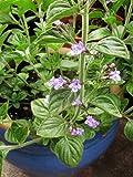 Nepetilla, Calamintha Nepeta, Organic, 50 seeds, Medicinal seeds, Heirloom seeds