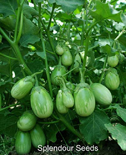 Splendour Seeds Brinjal Green Round Ve Buy Online In Kenya At Desertcart
