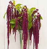 David's Garden Seeds Flower Amaranthus Love Lies Bleeding SL1139 (Purple) 200 Non-GMO, Heirloom Seeds