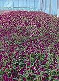 Gomphrena globosa Qis Purple 1,000 seeds