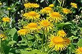Elecampane Seeds, also called Yellow Starwort,, Non Gmo Untreated - Perennial
