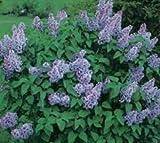 Miss Kim Manchurian Lilac ( syringa ) - Live Plant
