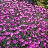 Outsidepride Dianthus Cheddar Pink - 1000 Seeds