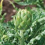 David's Garden Seeds Artichoke Imperial Star OS2120 (Green) 25 Non-GMO, Open Pollinated Seeds