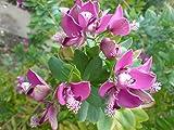 10 Seeds of Polygala Myrtifolia, Milkwort Sweet Pea Shrub / Myrtle-leaf Bush