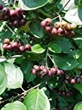 PHOTINIA MELANOCARPA (black chokeberry) - Single Plants