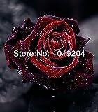 200 Rose Black Baccara (Hybrid Tea Rose seeds),Deep Red ,delicately scented ,DIY Bonsai or Yard cut rose flower plant