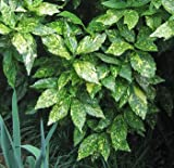 """(1 gallon) ACUBA """"Gold Dust"""" ('Aucuba japonica variegata) - Bright Green Foliage Speckled with Gold. Giving The Appearance of Yellow Green Foliage."""