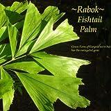 ~FISHTAIL PALM~ Caryota Mitis GREEN w/ Variegated GENES!! LIVE Sml Starter PLANT
