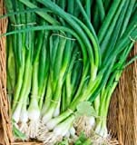 Organic Kincho Scallion Onions 100+ seed tall and green stems that do not bulb!
