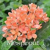 Allamanda violacea Seeds Seeds Petals flower Seeds Bonsai For Flower 100 Seeds 7 #32680021841ST